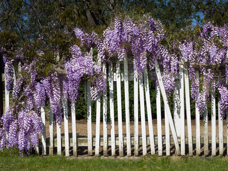 Wisteria Covered White Picket Fence