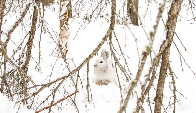 Snowshoe Hare Warren Nelson Memorial Bog Sax-Zim Bog MN IMG_0833.jpg