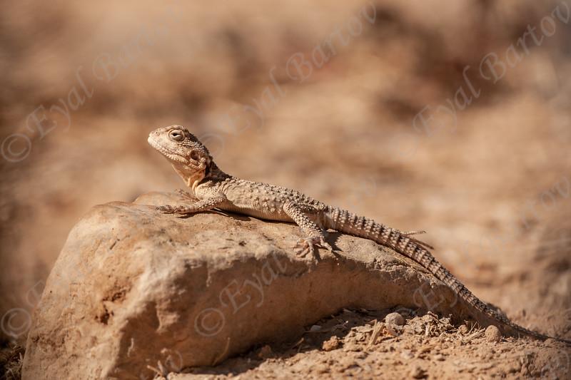 Rough Tail Rock Agama -חרדון מצוי Laudakia stellio