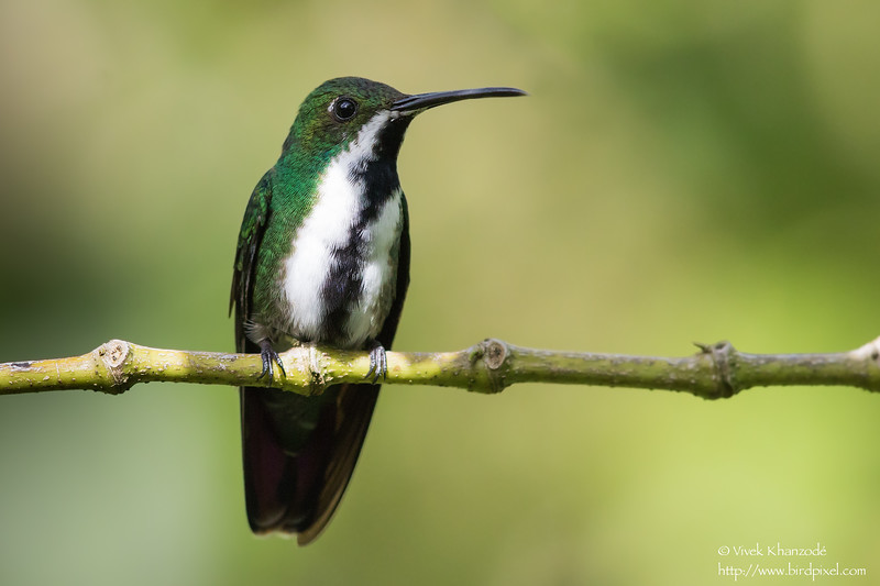 Black-throated Mango - Female - Asa Wright Nature Center, Trinidad
