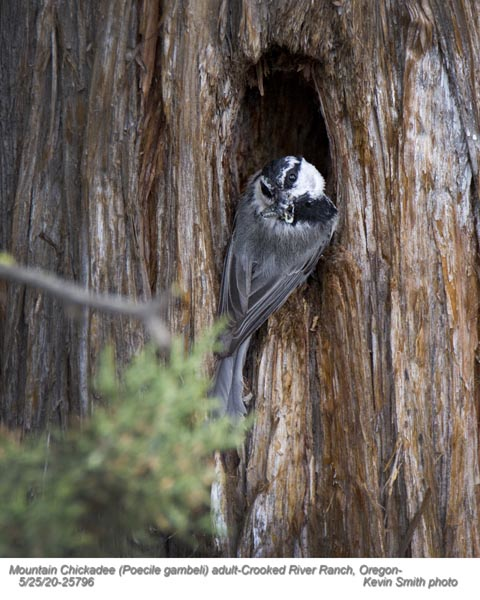 Mountain Chickadee A25796.jpg