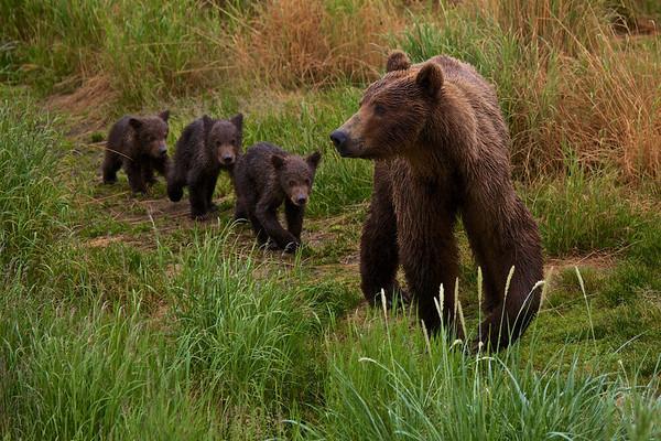 Brooks Falls-Brown Bear-Katmai