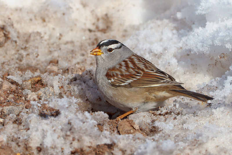 (male) White-crowned Sparrow, Bosque del Apache NWR, New Mexico