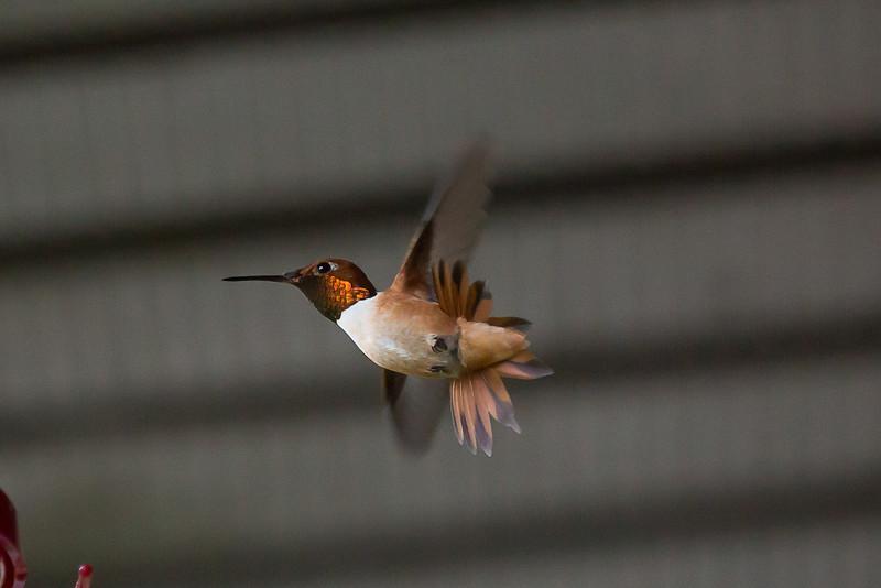 humming bird (2 of 1).jpg
