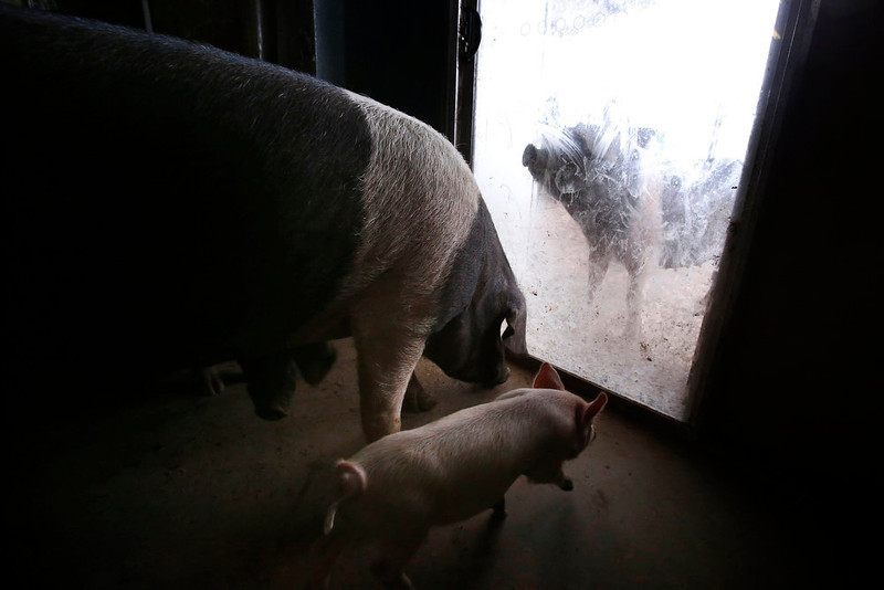 . Some of the more than 25 pigs living in the home of farmer Lindy Haynes stand at the front door on her property known as \'Pigsville\' in the New South Wales town of Mudgee, located 250 km (155 miles) west of Sydney March 2, 2013. Haynes believes that all farm animals should be \'free range\', and allows the pigs, chickens, cats and dogs on her farm to move freely in and out of her house, with most sleeping inside at night. Picture taken March 2, 2013.    REUTERS/David Gray