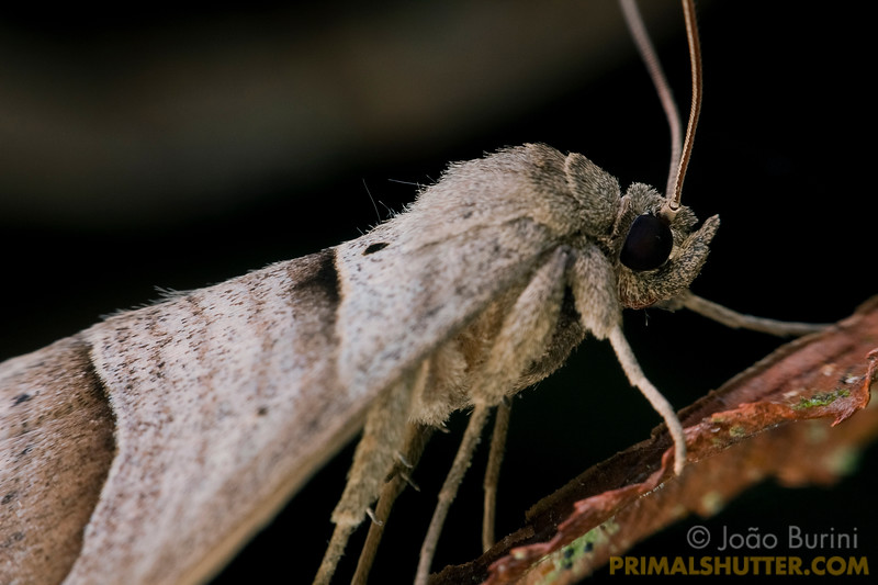 Side view of an unidentified moth, in Intervales State Park, Brazil. South-east atlantic forest reserve, UNESCO World Heritage Site.