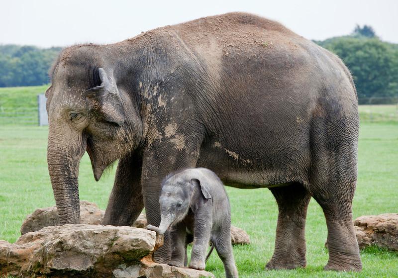 Baby Elephant Arrives at Whipsnade Zoo_5009033580_o_8179384926_o.jpg