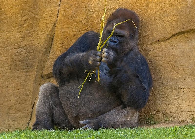 Gorilla-1.jpg