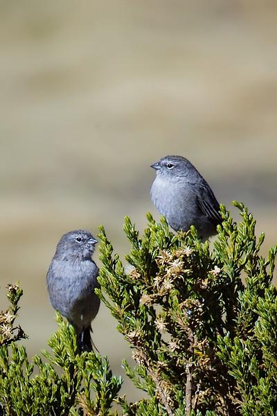 Pájaro plomo