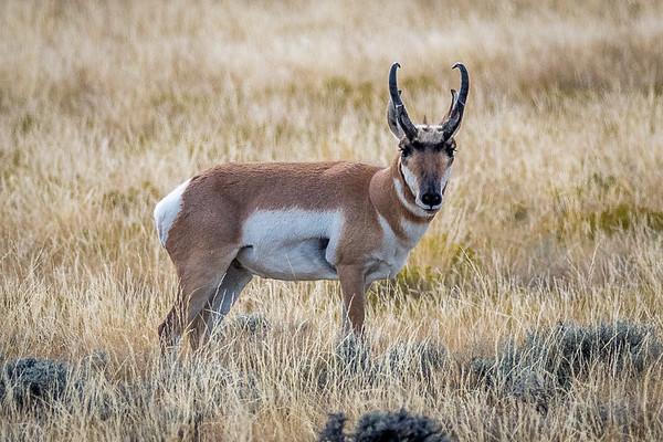 PRONGHORN  (Antelope)