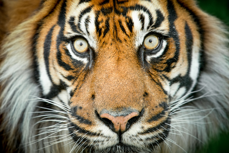 Sumatran Tiger (Panthera tigris sumatrae), Captive
