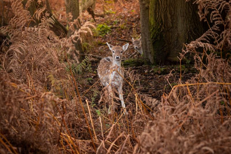 2019 - Deer at Knole Park November 003