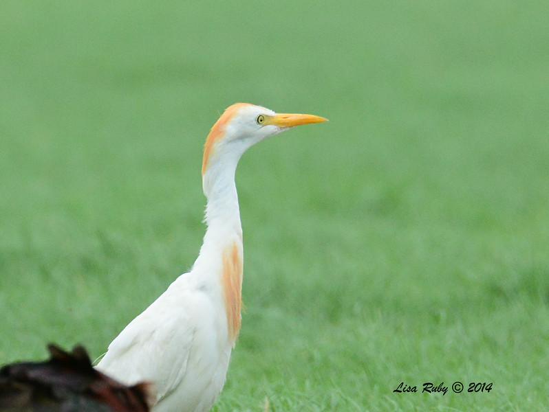 Cattle Egret - 7/27/2014 - Imperian Valley