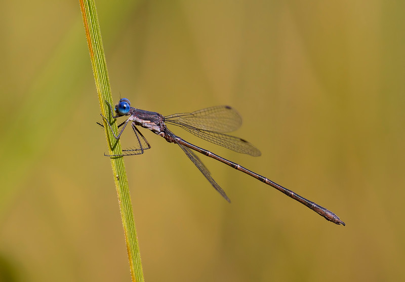 Male, Lum's Pond