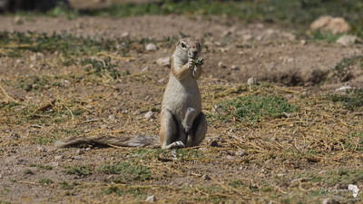 Another Ground squirrel