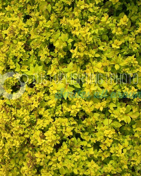 Yellow Leaves_batch_batch.jpg