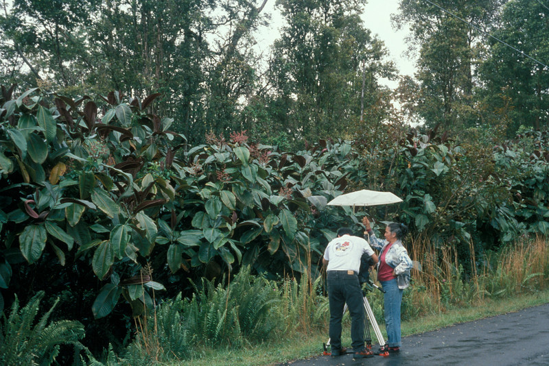 Large infestations of miconia were noticed on the Big Island in the 1970s in Onomea and Panaewa, largely in non-native forest and nursery areas.  In recent years, however, miconia has been found to invade native forest in Leilani Estates and above Paradise Park in Ainaloa.  This is a wall of miconia at Leilani Estates in February, 1996.  (photoID:bhg000342)