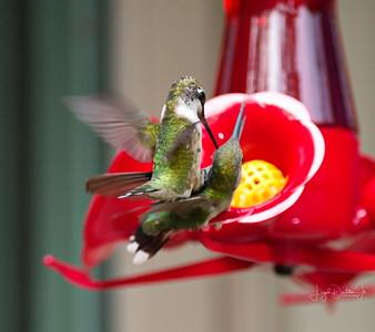 Hummingbirds    9-13-17