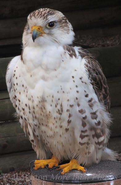 Lanner Falcon Falco biarmicus