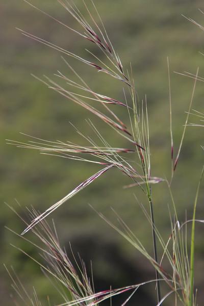 Purple Needlegrass (Nassella pulchra), a native bunchgrass that's also the official California State Grass