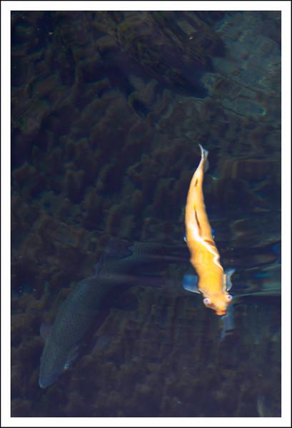 The strange orange and black fish with bulging eyes.