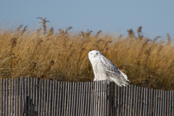 Snowy Owl - Duxbury Beach - 11/23/2013