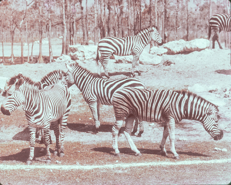 WorldOfAnimals_Zebra.jpg