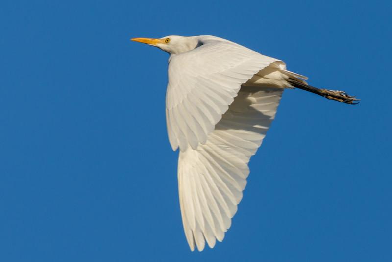 Flying Egret-6394.jpg