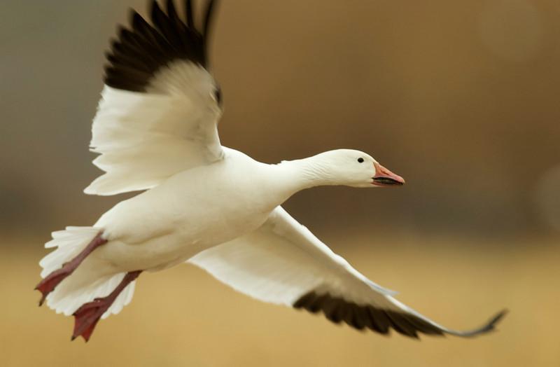 Snow Goose In-Flight 0222458
