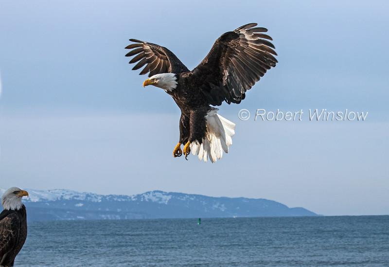 Bald Eagle 2005W1WM2.jpg
