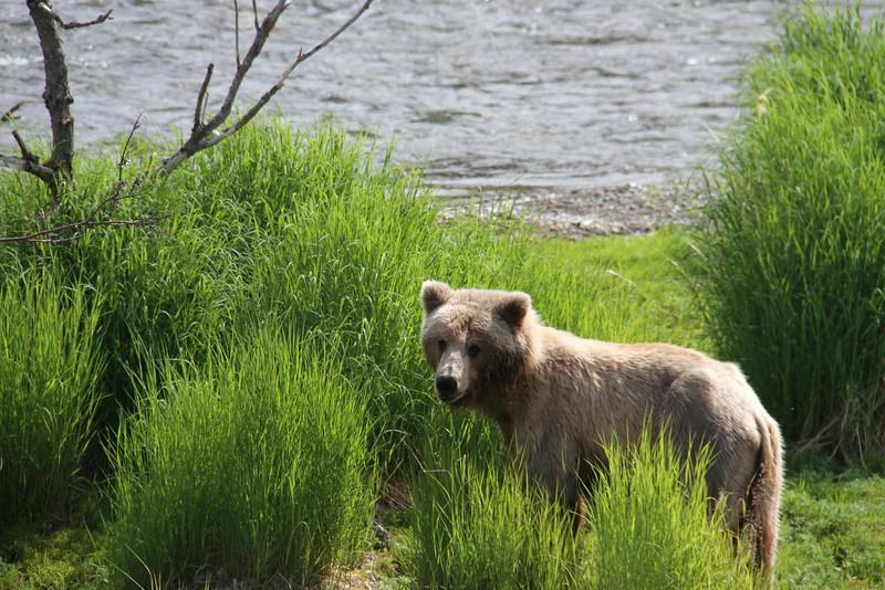 Katmai Bear5.jpg