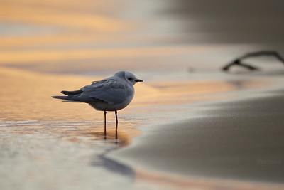 Mewy i rybitwy / Gulls & terns