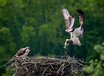 Birds of Melton Hill Lake 2018