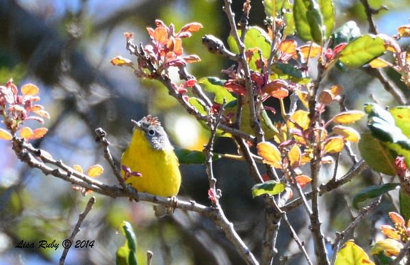Santa Ysabel Preserve with San Diego Audubon - East Entrance - 4/13/14