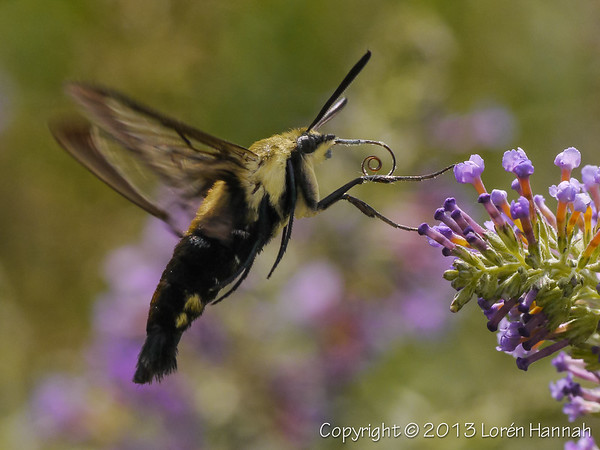 Moths in the Wild