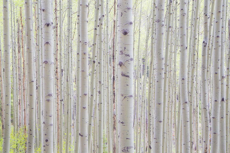 Enveloped in Aspens