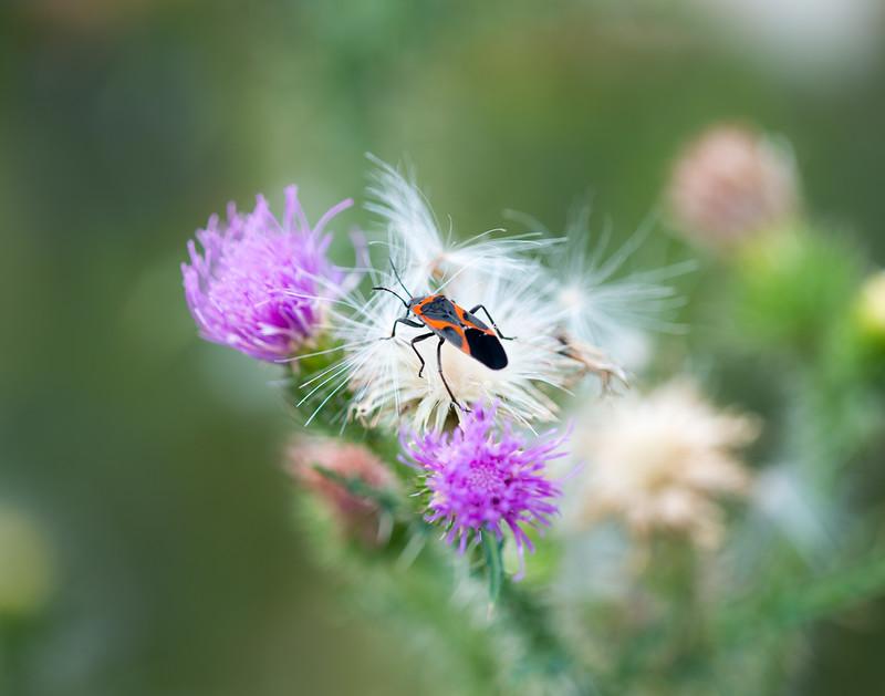 Fuzzy Flower Bug