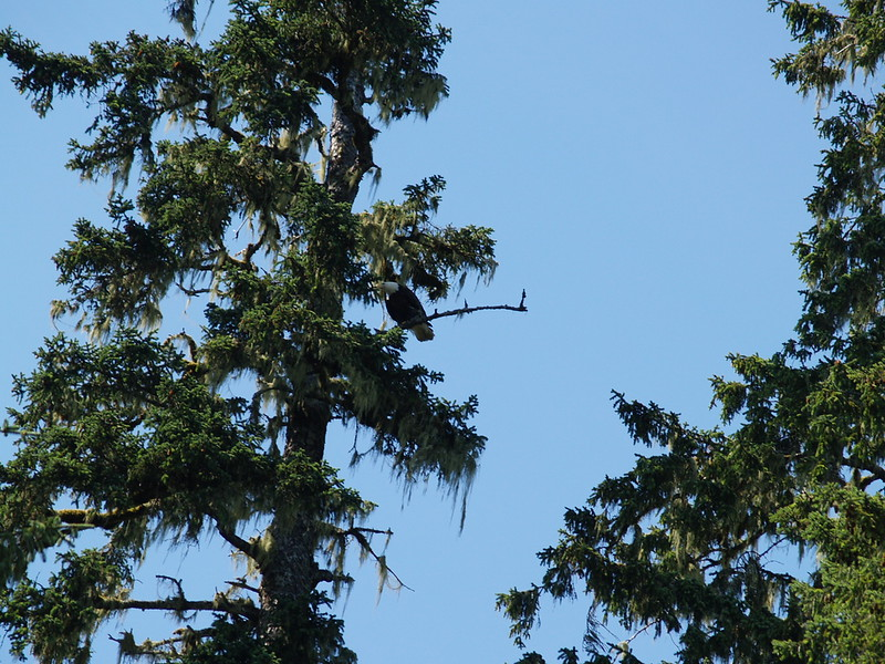 A male eagle at Sandy Beach - he had just flown overhead from another tree. (2009)