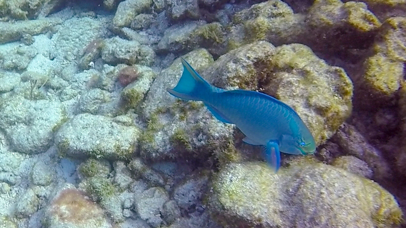 Ciesla-GOPR7689 - KC Blue fish.jpg