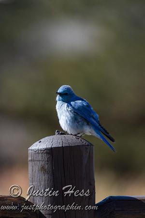 03 16 2020 Mountain Bluebird Male