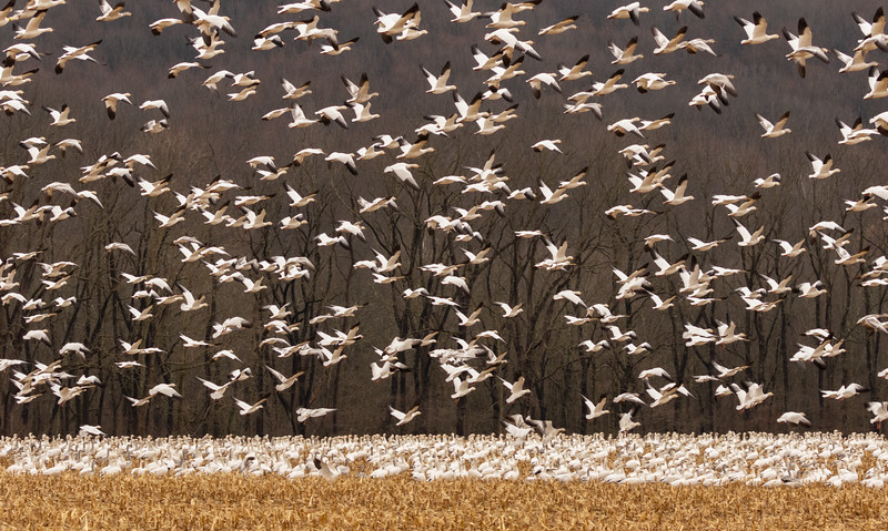 Snow Geese - Migration-7670