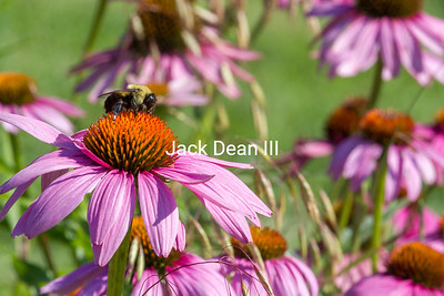 Bumble Bee And Cone Flowers