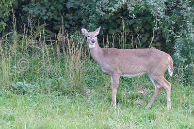 Deer & Red Lechwe