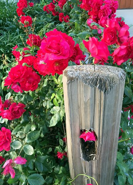fence roses.jpg