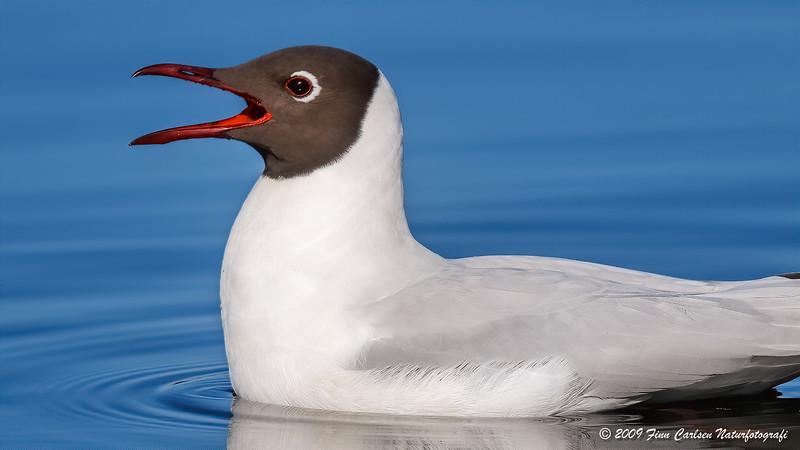 Hættemåge - Larus ridibundus - Black-headed Gull