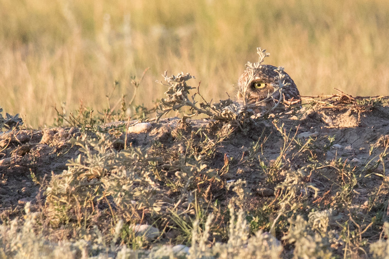 Burrowing Owl Grasslands-5.jpg