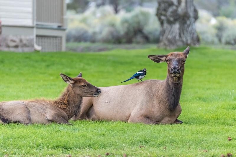 Elk-Mammoth-in-town-3.JPG