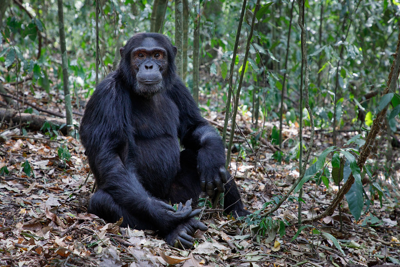 African_Apes_0218_PSokol-1657-Edit.jpg