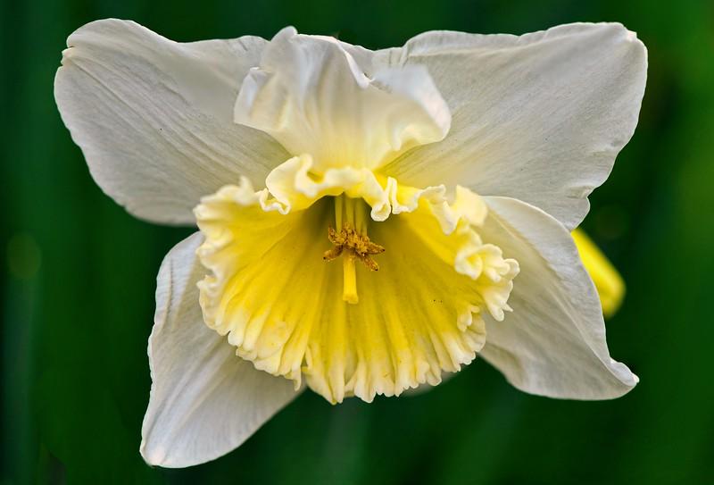 White Daffodils 3 Lum.jpeg