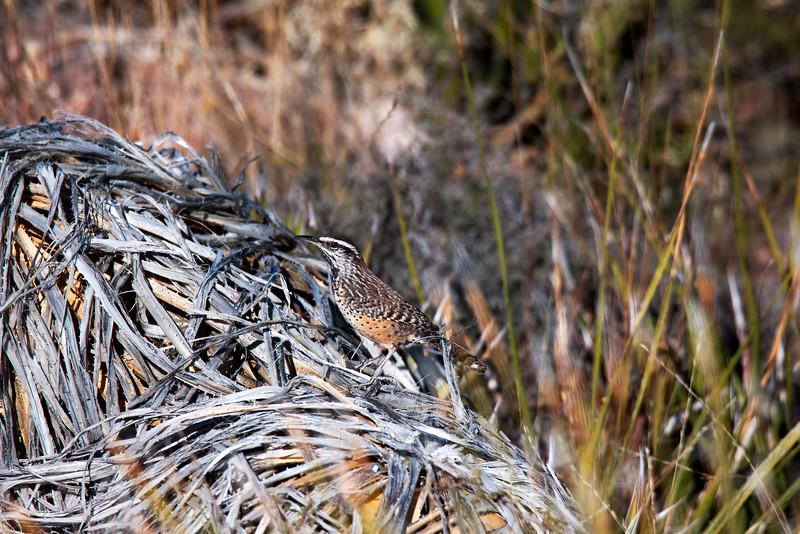 20141126_0478 Sotol Lookout Cactus Wren.jpg